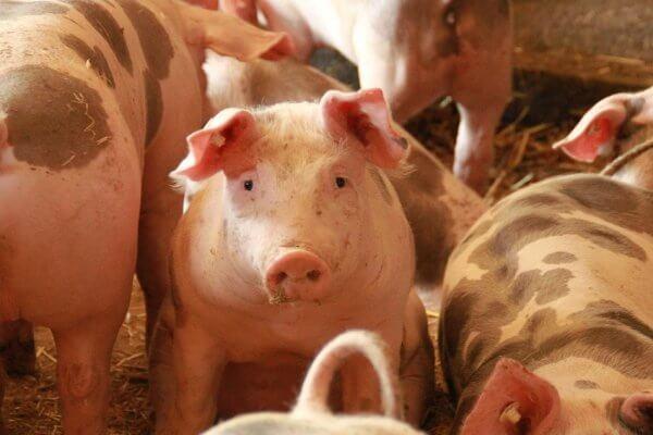 Uitkoopregeling varkensboeren geen ongeoorloofde staatssteun